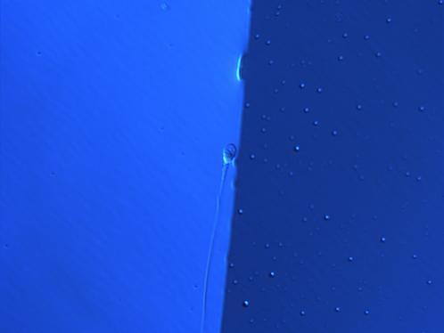 esperma-azul