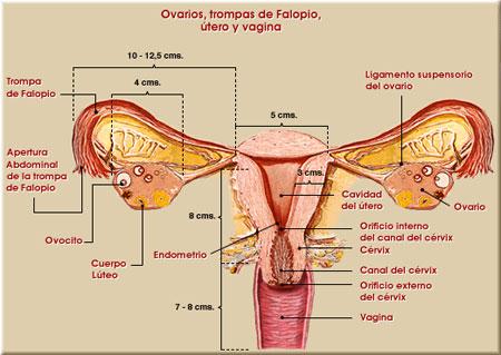 Útero, ovarios, vagina